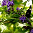 Butterfly landing on a violet flower — Stock Video #69511529