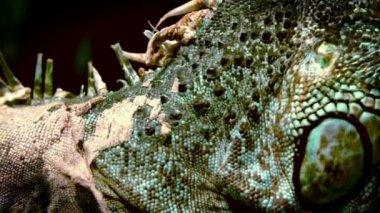 Big iguana on black background — Stock Video