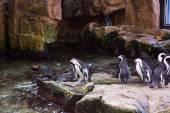 Penguins walking in stones — Stock Photo