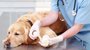 Smiling female vet bandaging dogs leg — Stock Video