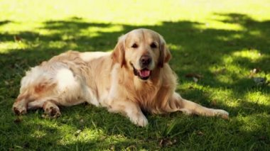 Cute labrador lying on the grass — Stock Video