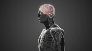 Revolving body with visible brain and skeleton — Stock Video