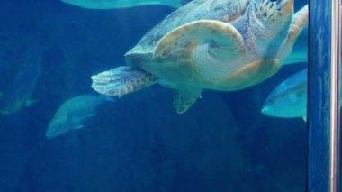 Turtle swimming in fish tank — Stock Video