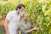 Two young happy vintners looking at grapes — Stock Photo