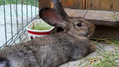 Brown rabbit resting — Stock Video
