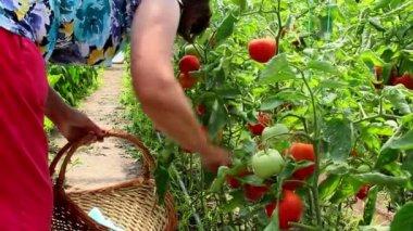 Vegetable greenhouse — Stock Video