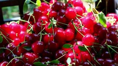 Freshly picked sour cherries — Stock Video