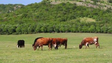 Wypas krów — Wideo stockowe