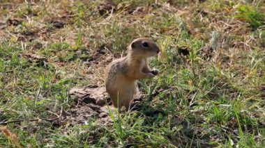 European ground squirrel feeding — Stock Video