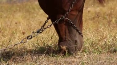 Grazing horse close up — Stock Video