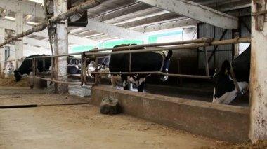 Dairy farm — Стоковое видео
