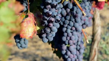 Wine Grapes — Stock Video