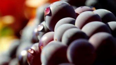 Wine Grapes Closeup — Stock Video