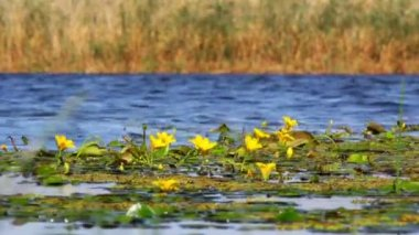 Yellow flowers in Danube Delta — Stock Video
