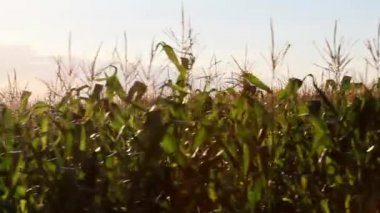 Corn field in motion — Stock Video