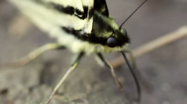 Scarce Swallowtail Butterfly — Stock Video