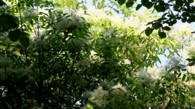 Blossoming Elderflower Bushes — ストックビデオ