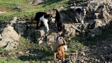 Young goats playing — Vídeo de Stock