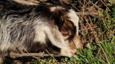 Baby goat grazing — Stockvideo