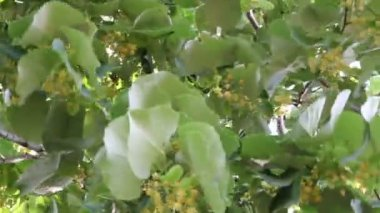 Blossoming linden tree — Stock Video