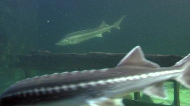 Sturgeons in aquarium — Vídeo stock