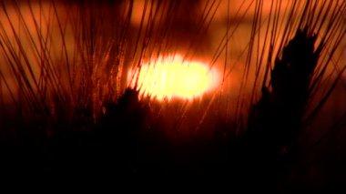 Nice wheat crop at sunset — Stock Video