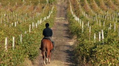 Vineyard in autumn — Stock Video