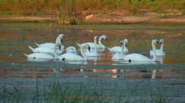 Swans — Stock Video