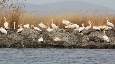 White pelicans — Stock Video