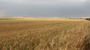 Campo de trigo — Vídeo de Stock