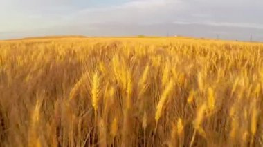 Wheat field at sunset aerial — Stock Video