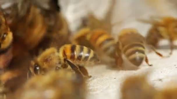 Tiro de macro de las abejas en la entrada de la colmena — Vídeo de stock