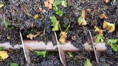 Stemmer crusher crushing grapes at a winery — Stock Video