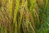 Champ de riz — Photo