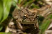 Frog Hyla squirella on a leaf  with sharpness on the eyes — Stock Photo