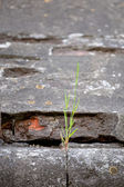 Grass sprouted in the stone wall. texture.Shallow depth of field — Stock Photo