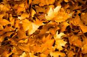 Autumn leaves background in shades of yellow — Stock Photo
