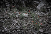 Red flowers among the stones. Toned. Black-white — Stock Photo
