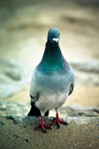 Pigeon rocky unturned. Shallow depth of field — Stock Photo