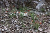 Red flowers among the stones — Stock Photo