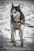 Husky portrait — Stock Photo
