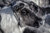 Muzzle reindeer in frost. Yamal. Shallow depth of field  — Stock Photo