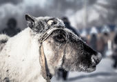 Muzzle reindeer in frost. Yamal. Shallow depth of field  — Zdjęcie stockowe