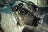 Muzzle reindeer in frost. Yamal. Shallow depth of field  — Stok fotoğraf