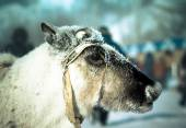 Muzzle reindeer in frost. Yamal. Shallow depth of field  — Stockfoto