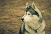 Husky portrait. Tinted — Stock Photo