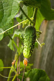 Small cucumber on the lash in a greenhouse on a farm — Stock Photo