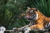 Amur tiger lying on a platform of planks — Stockfoto