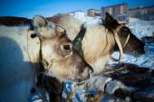 Team of reindeer on the background of town. Yamal. Toned — ストック写真