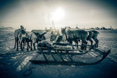 Team of reindeer on the background of yurts. Yamal — ストック写真